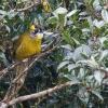 150302-0955-02R - Yellow-eared Bulbul