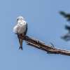 150302-1226-10aR - Black-winged Kite