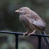 150304-1641-57R - Yellow-billed Babbler