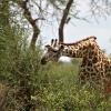 Giraffe - 041130-1046-63_k2R